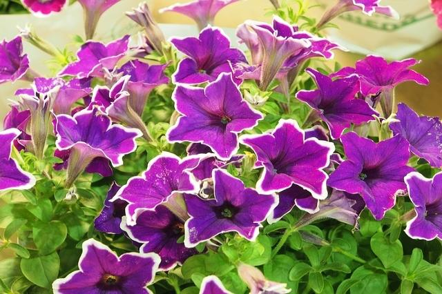 Purple petunias with delicate yellow edges