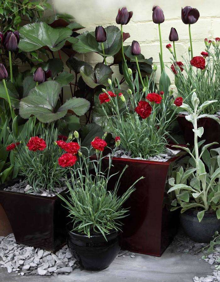 Dianthus - April delivery
