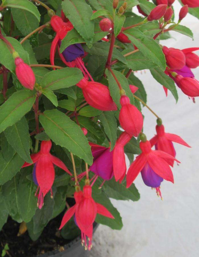 Fuchsia - May delivery