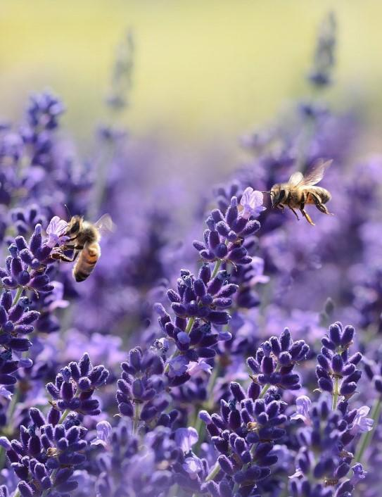 Lavender with bees