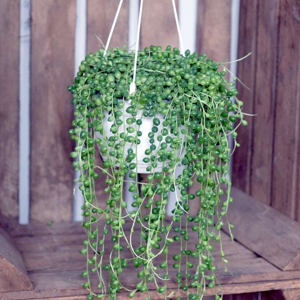 String of Pearls or Senecio Rowleyanus at Albert & Moo