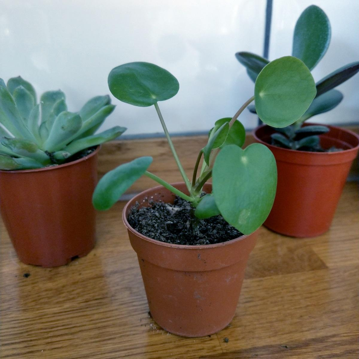 Mini Chinese Money Plant Pilea Peperomioides at Albert & Moo