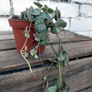 String of Hearts - Ceropegia Woodii at Albert & Moo