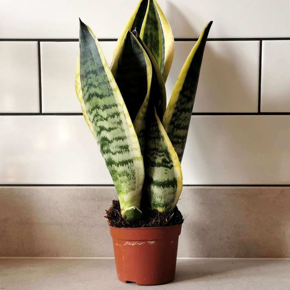 Sansevieria in 10cm pot at Albert & Moo