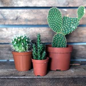 Cactus in three sizes at Albert & Moo