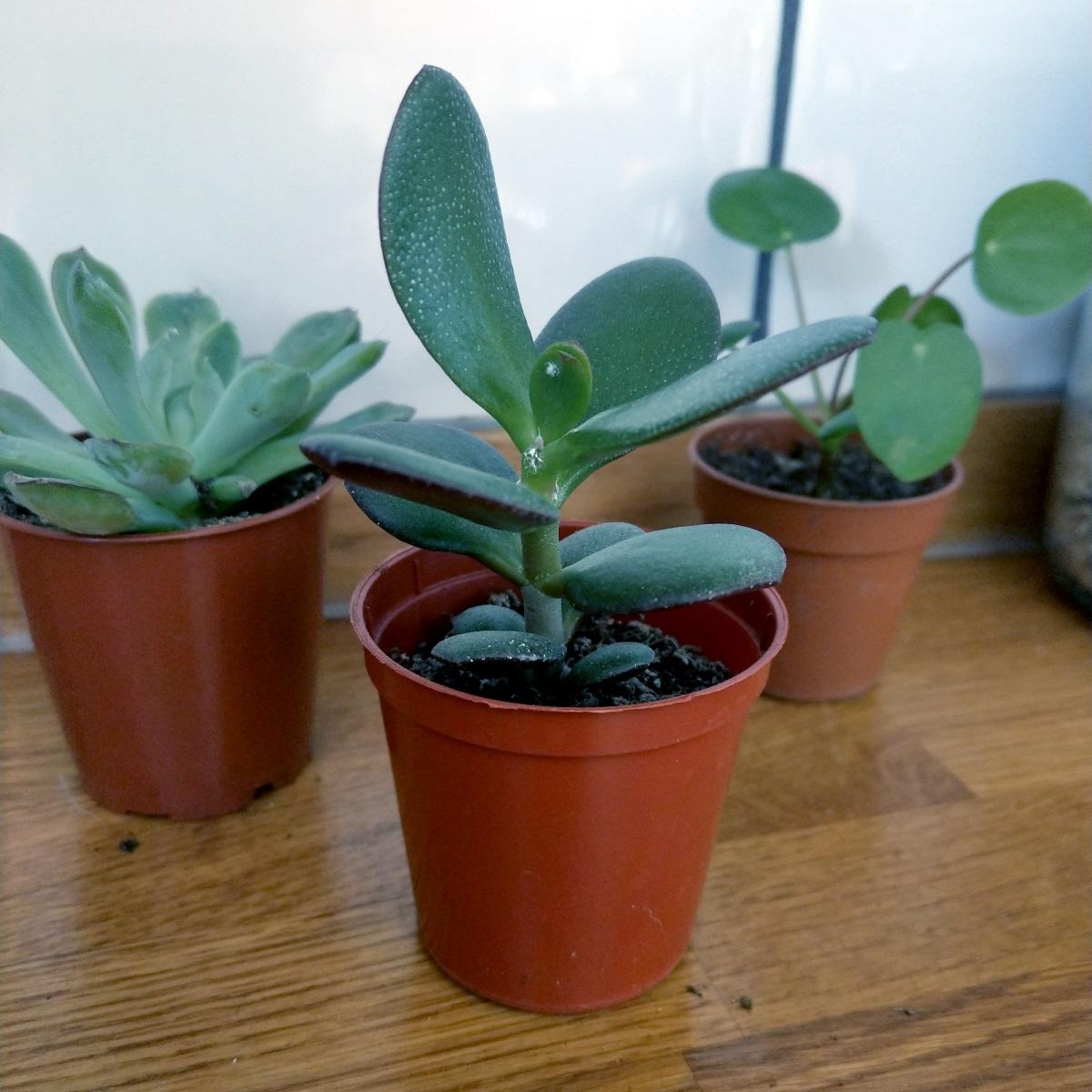 Mini Jade Plant Crassula Ovata at Albert & Moo