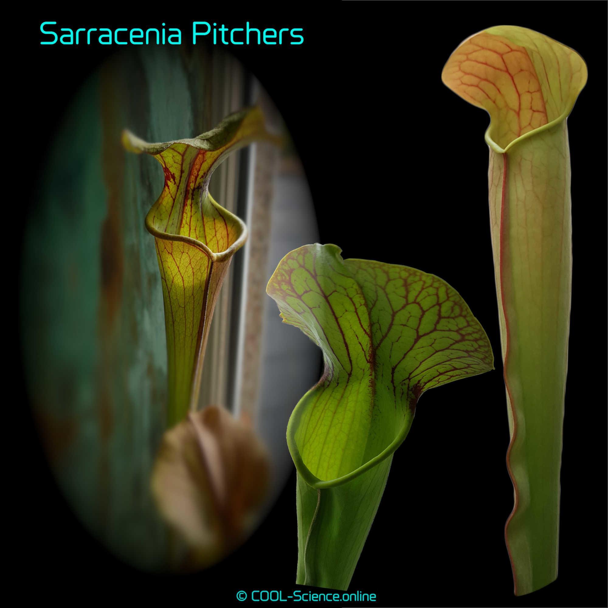 Sarracenia Pitchers