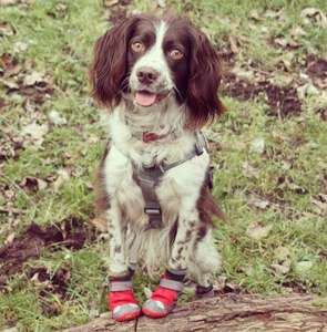 Boots For Dogs in Red Currant