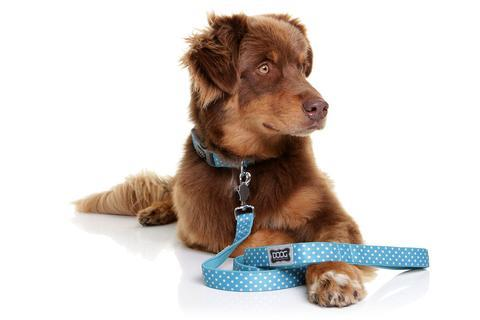 Brown dog wearing DOOG dog lead Snoopy - turquoise with polka dot design