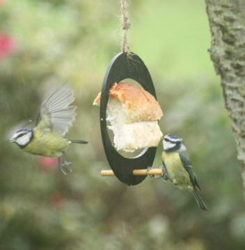 black oval bird feeder with bread fixed in the centre shown hanging in tree blue tits feeding