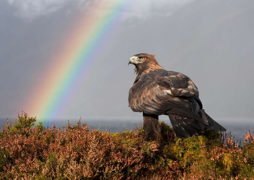 Golden Eagle and Rainbow 2