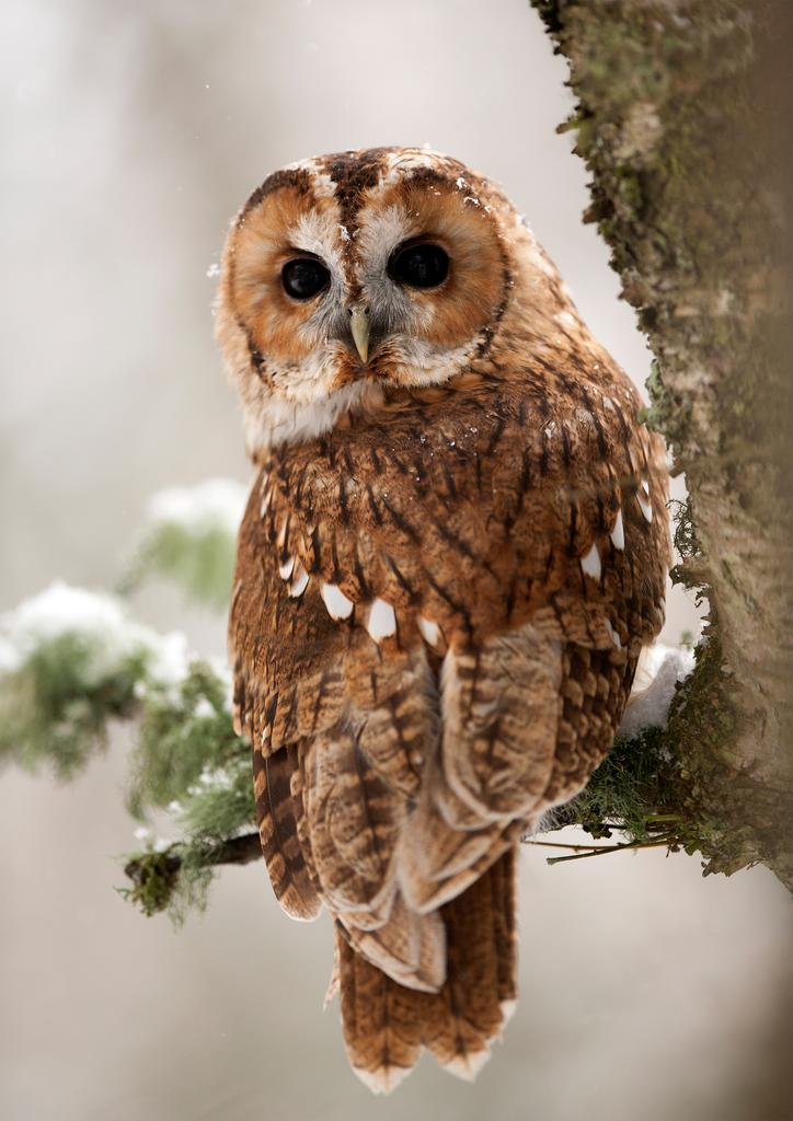 What should you do if you find a young Tawny Owl?