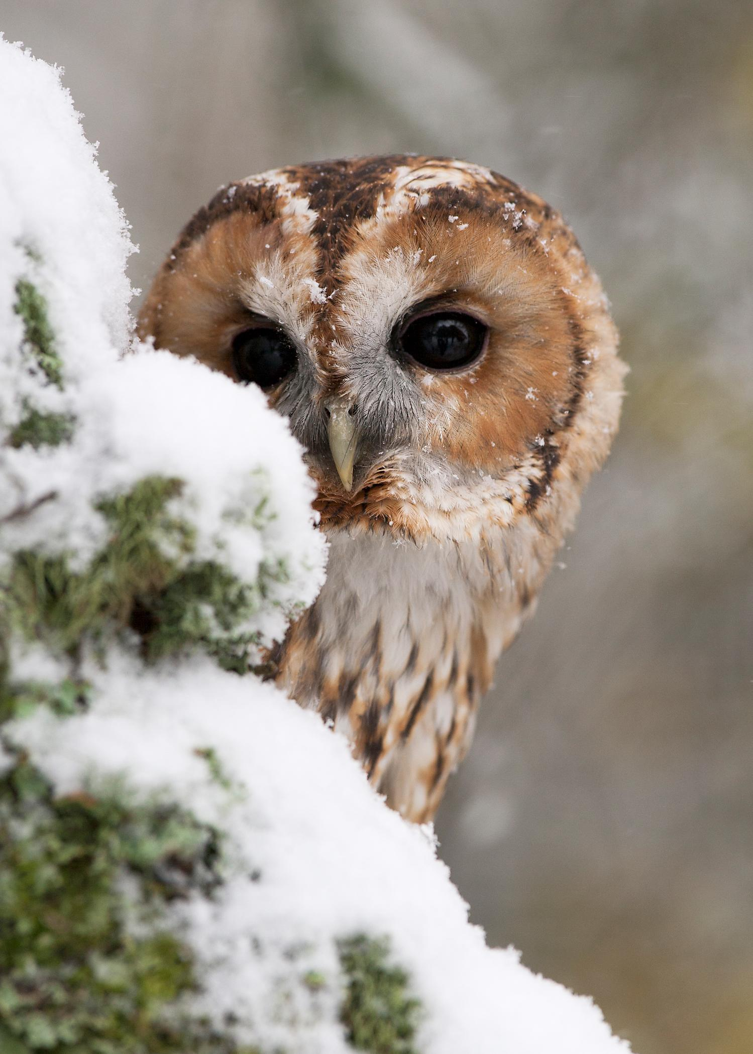 7x5 Card- Tawny Owl in the Snow 2