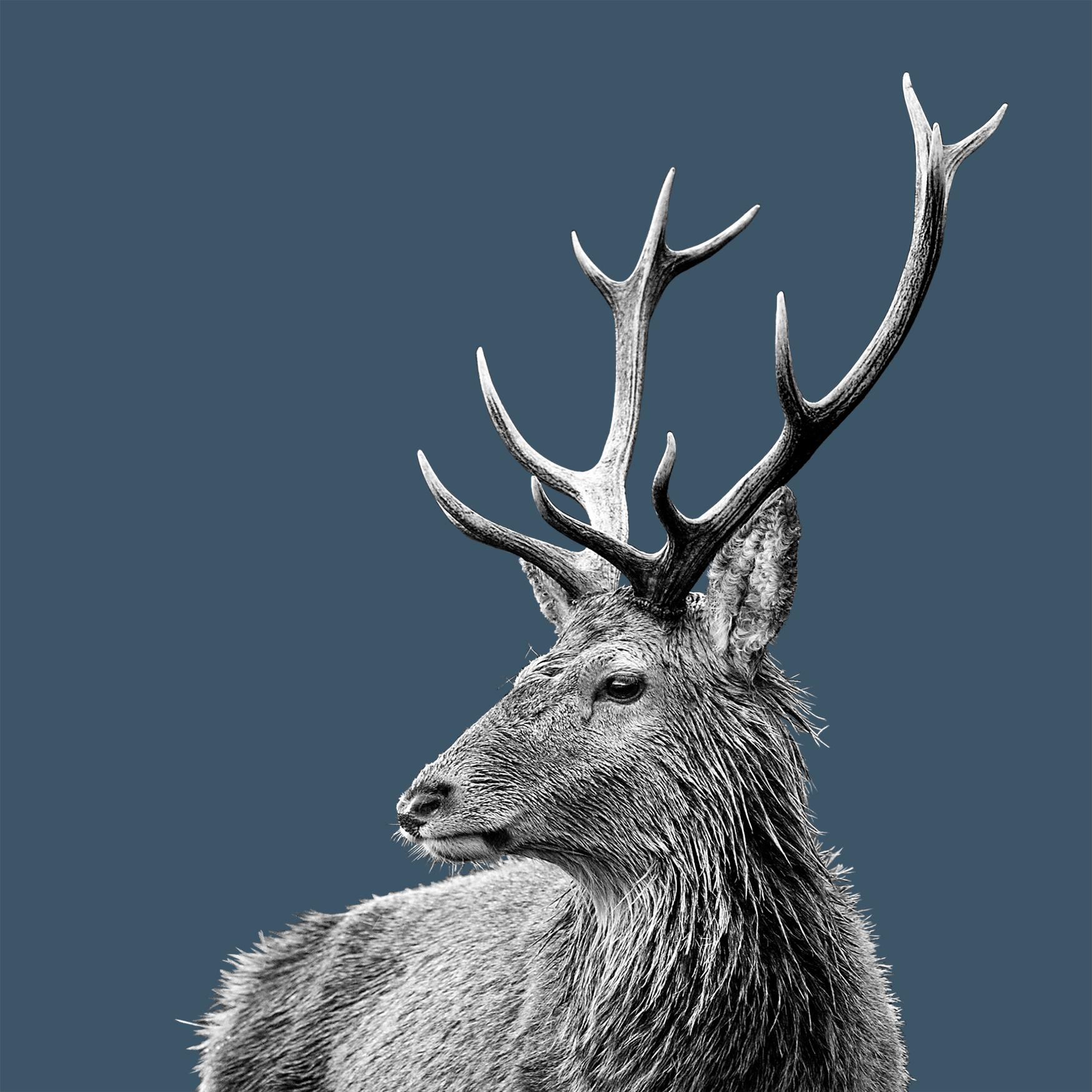 15 x 15 Card - Highland Stag on Indigo