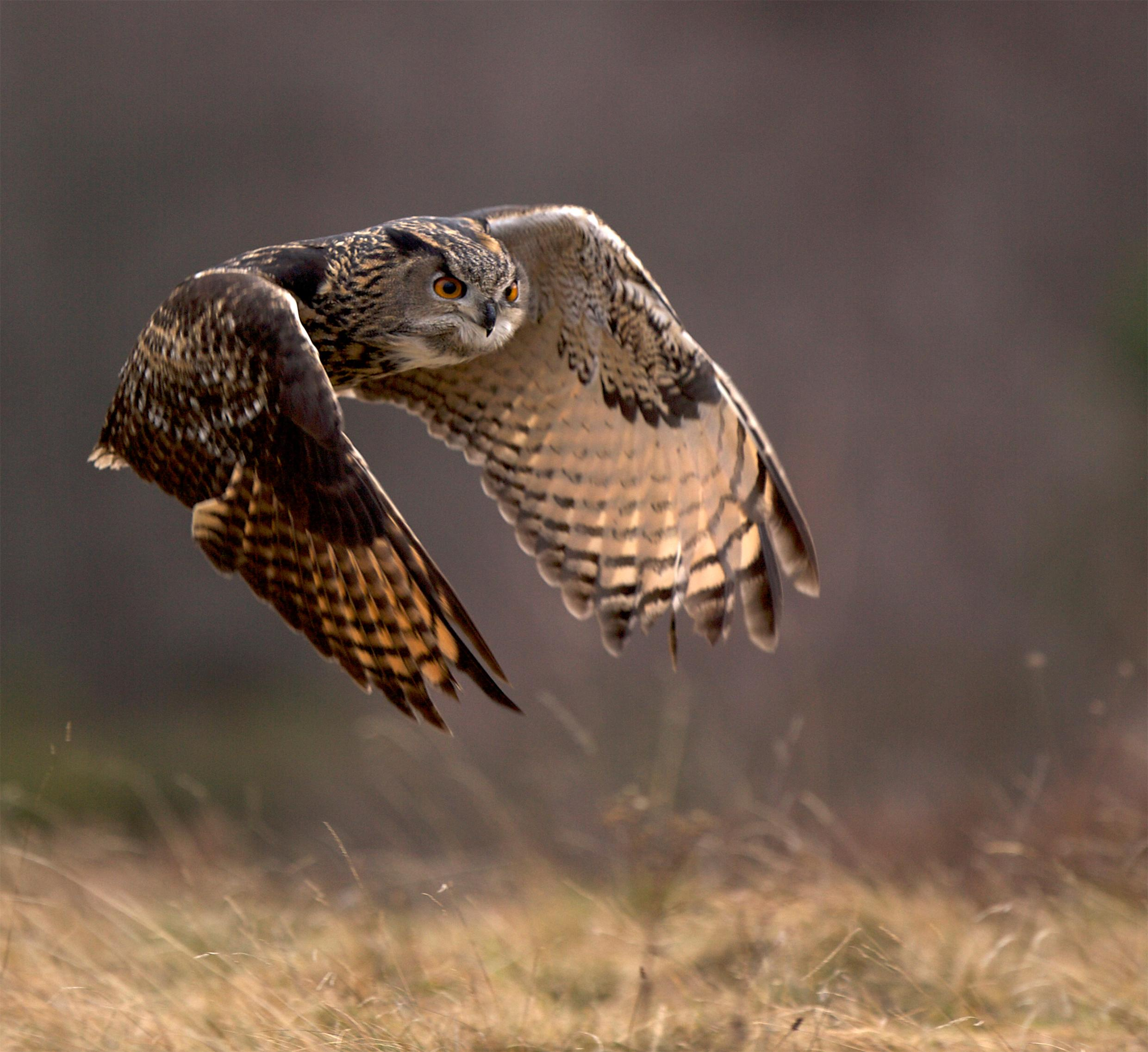 Eagle Owl Print - In flight