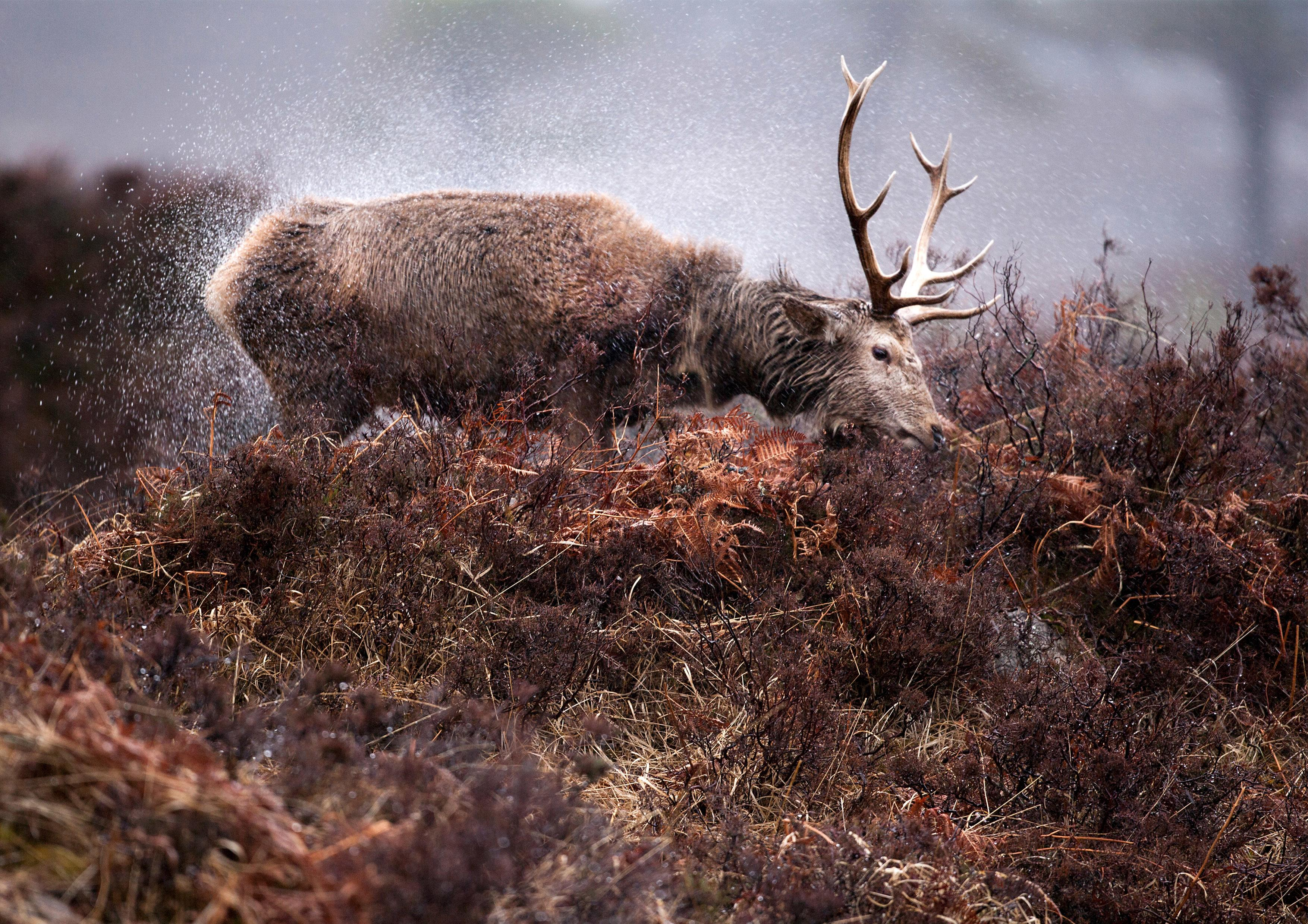 Highland Stag in the Rain Print