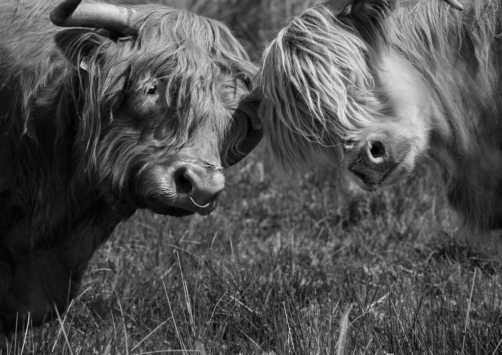 Highland Cows - New black and white print launched by Seddon and Davison (a perfect wedding or Christmas gift!)