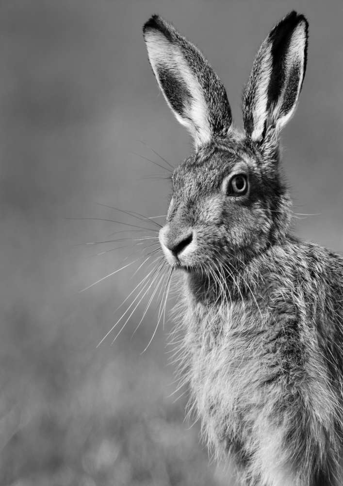 Hare Print in Black and White  - Portrait