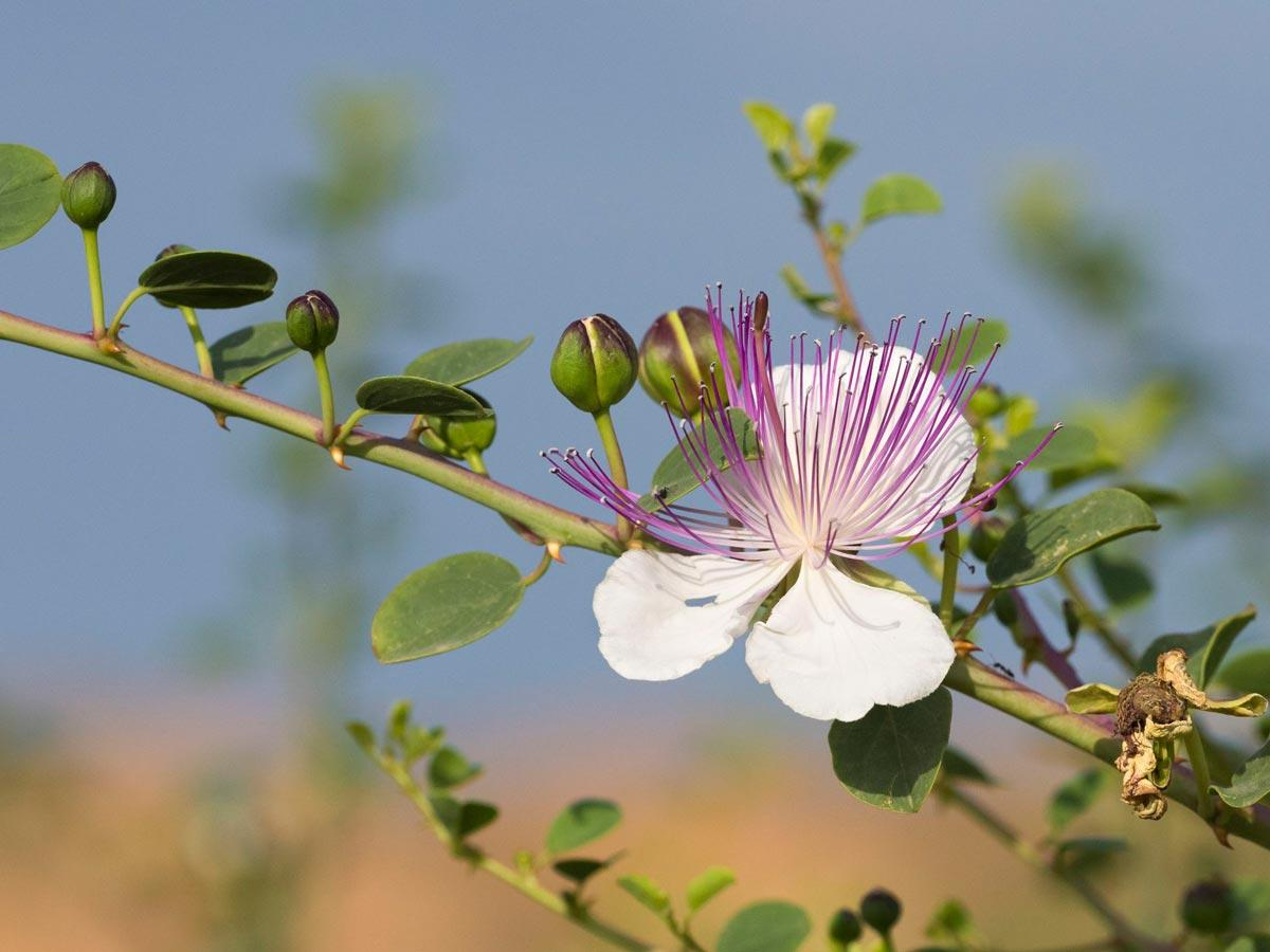 Capers growing