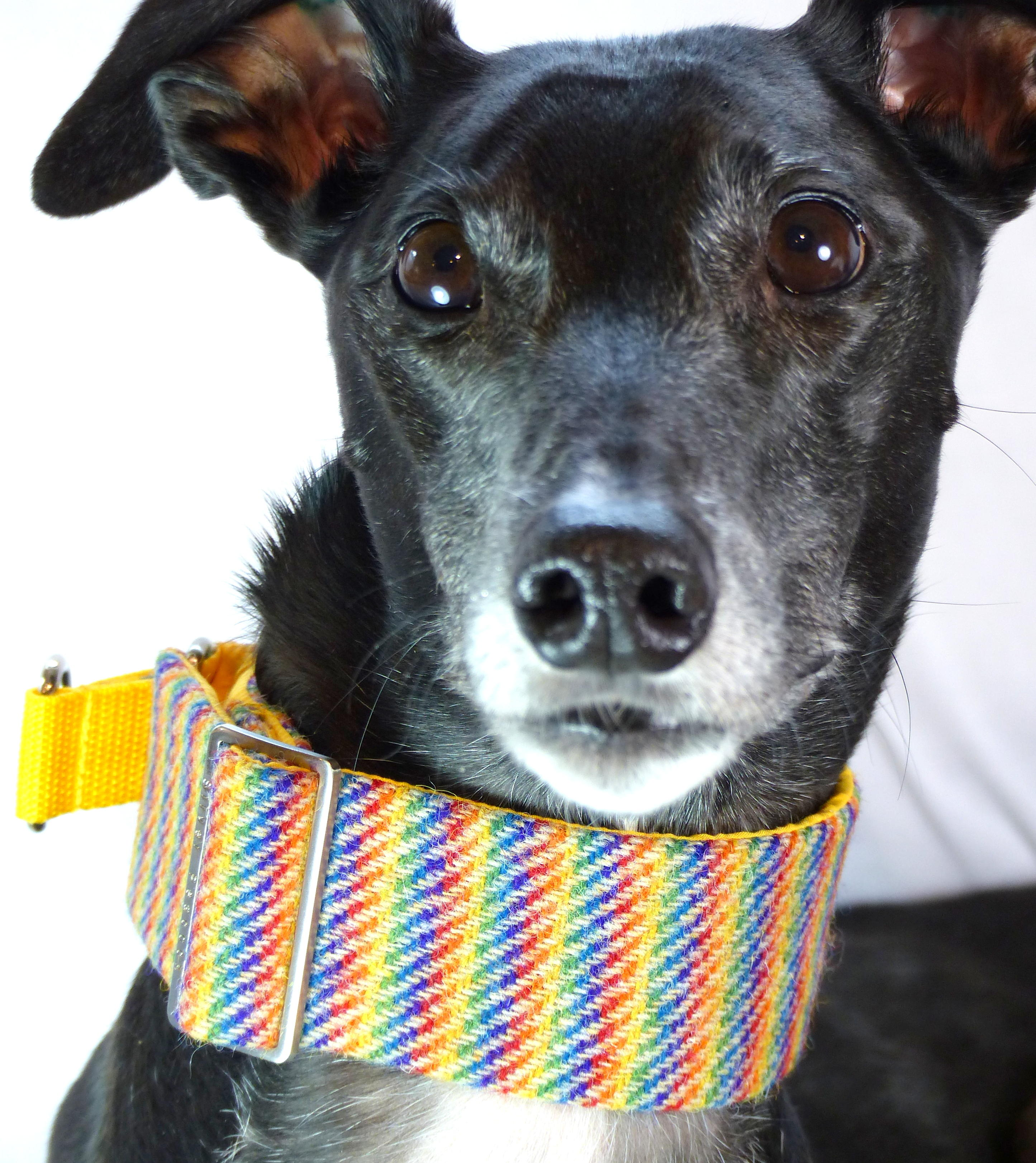 Harris Tweed martingale collar