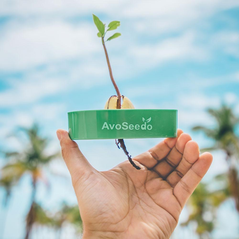 Avoseedo (Green) Grow Your Own Avocado Tree. Only £9.99
