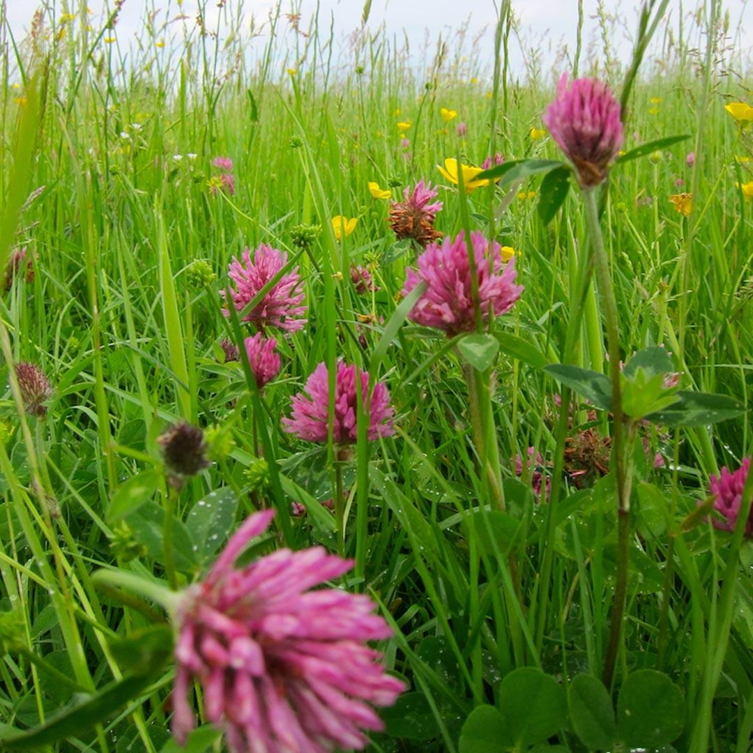 Bee Mix - Red Clover
