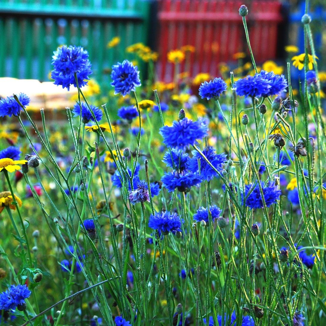 Bat Mix - Cornflowers photo