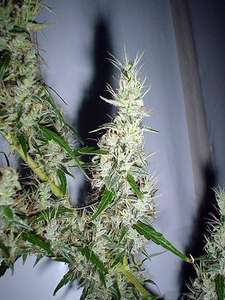Mr Nice SeedbankMango Haze Regular Seeds - 18