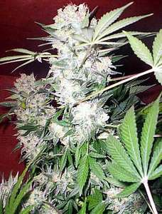 Serious SeedsWhite Russian Regular Seeds