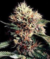 World of Seeds Ketama Feminised cannabis seeds