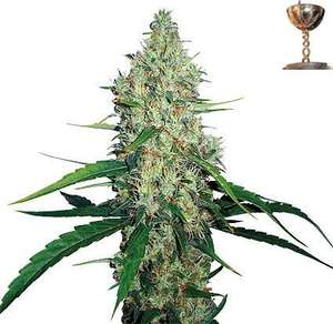 Barney's Farm SeedsG13 Haze Feminised Seeds
