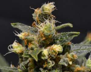 CBD Seeds A - K Feminised cannabis seeds
