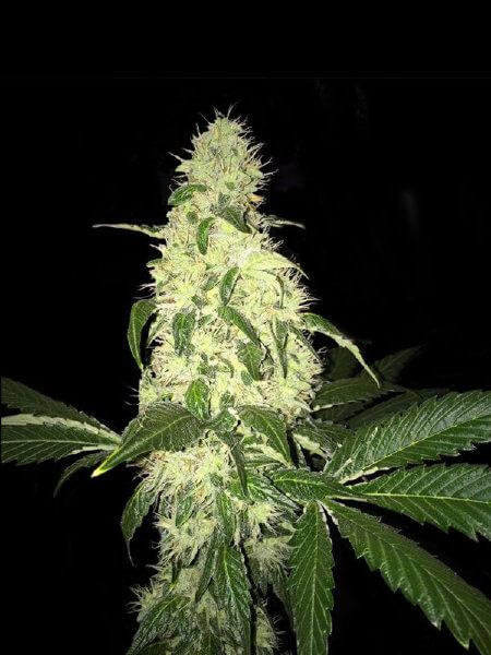 T.H. Seeds Afghaniberry Regular (Limited Edition)  cannabis seeds