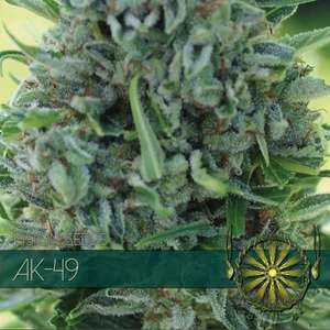 Vision Seeds AK - 49 Feminised cannabis seeds