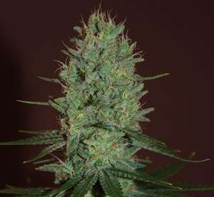 Expert SeedsAmnesia Haze Feminised Seeds