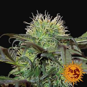 Barney's Farm Seeds Bad Azz Kush Feminised cannabis seeds