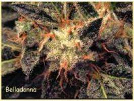 Paradise Seeds Bella Donna Feminised cannabis seeds