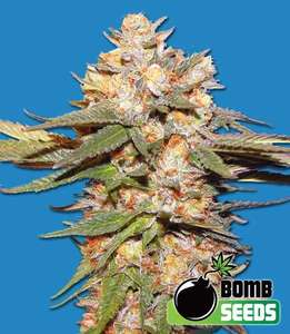 Bomb Seeds Big Bomb Auto Feminised cannabis seeds