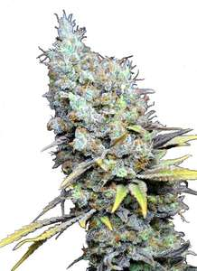 CBD Botanic Big Bud Super Skunk CBD Feminised cannabis seeds