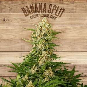 The PlantBanana Split Feminised Seeds
