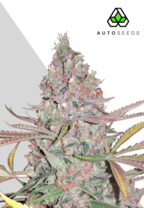 Auto Seeds Berry Ryder Auto Feminised cannabis seeds