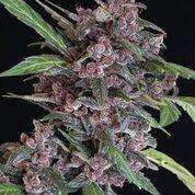 Exotic Seeds Black Lemon Auto Feminised cannabis seeds