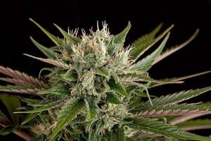 Dinafem Seeds Blue Cheese Feminised cannabis seeds