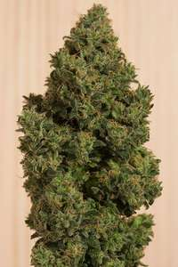 Humboldt Seeds Blue Dream CBD Feminised cannabis seeds