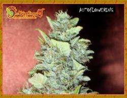 Dr Krippling Seeds Bubba Gum Auto Feminised cannabis seeds