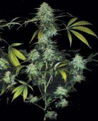 T.H. SeedsBubble Gum Feminised Seeds