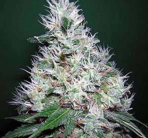 Serious Seeds Bubble Gum Feminised cannabis seeds