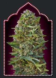 00 SeedsCaramel Kush Feminised Seeds - 5