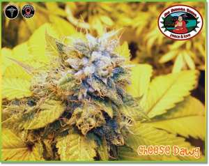 Big Buddha SeedsCheese Dawg Feminised Seeds