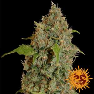 Barney's Farm Seeds Chronic Thunder Feminised cannabis seeds